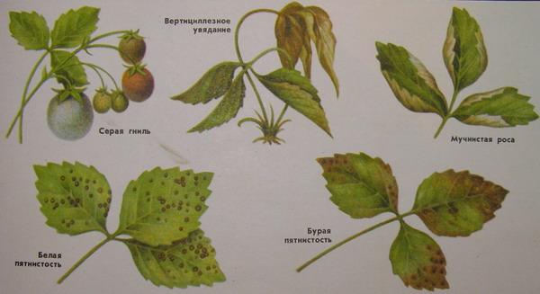 С вредителями и болезнями земляники